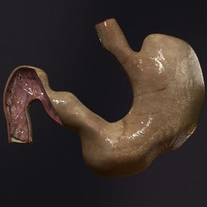 3d realistic stomach model