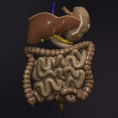 3ds max realistic human digestive