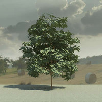 3d acer palmatum