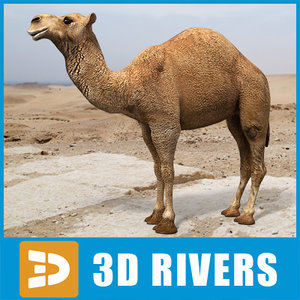 3d model arabian camel hump