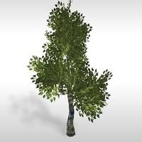 Birch tree # 3