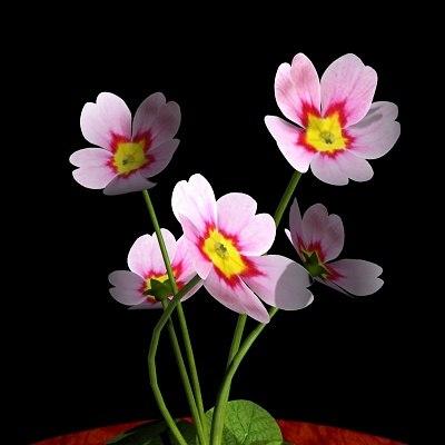 Pink Primrose Flowering 3d Obj