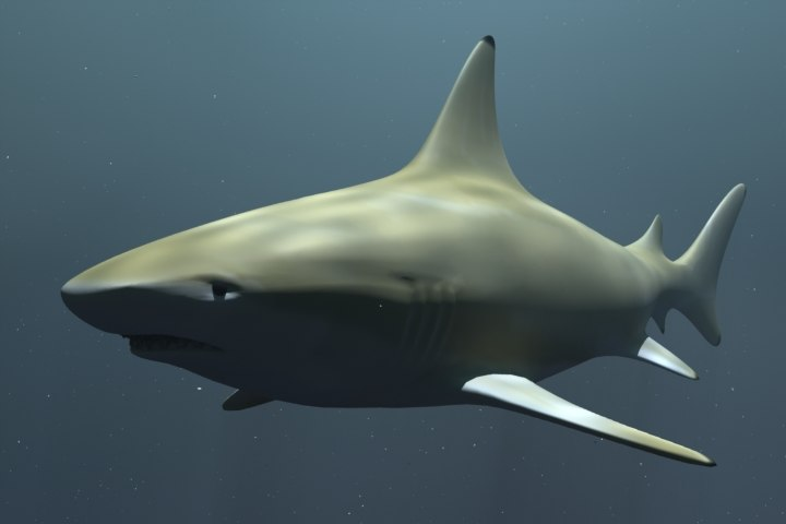 free lwo model black tip reef shark