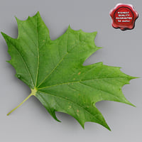 maple leaves summer 3d model