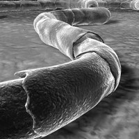 3d realistic bacterias model