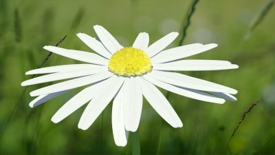 max chamomile flower