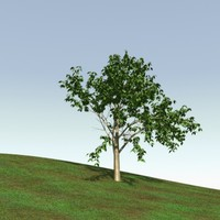 lightwave birch tree