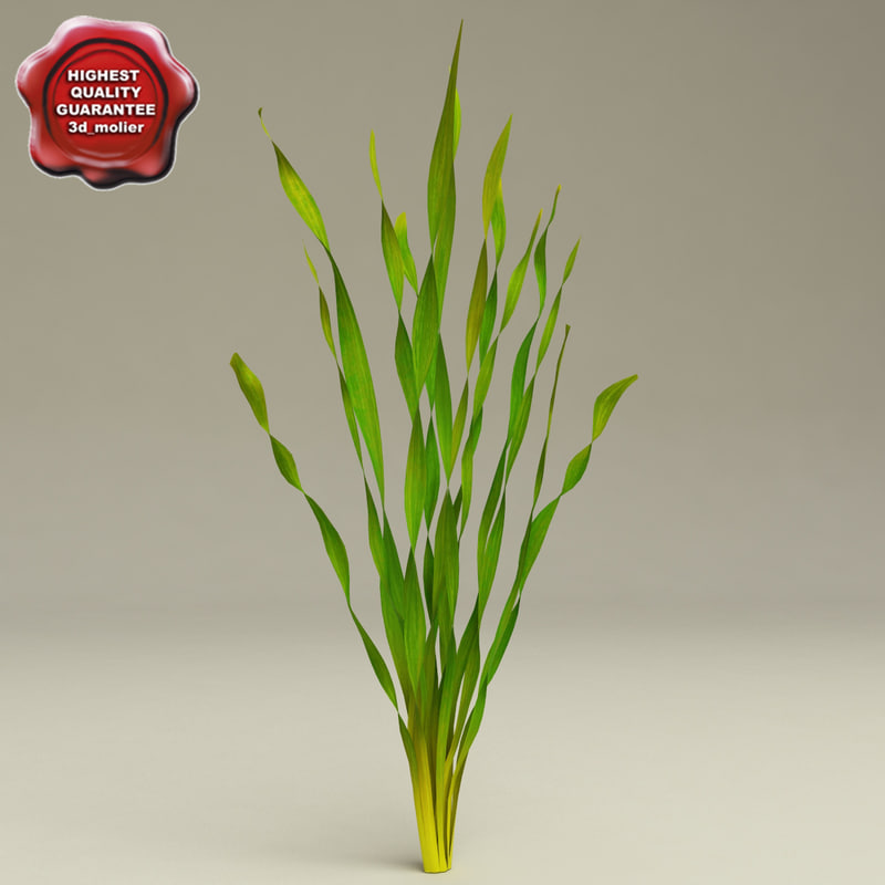 3d model of aquarium plant vallisneria spiralis