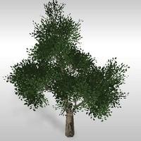 Oak tree # 5
