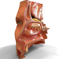 nose anatomy 3d model