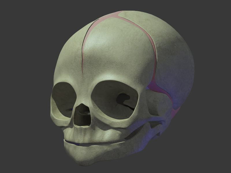 3d anatomical baby skull model