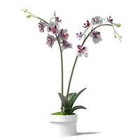 phalaenopsis orchids flower 3d model