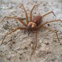 Brown Recluse Spider 3D models