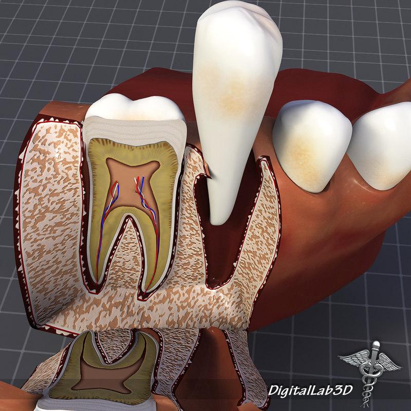 maya teeth gums