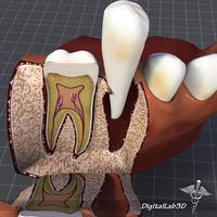 Teeth and Gums Anatomy