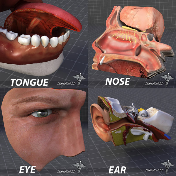 3d human senses ear nose model