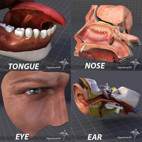 3d human senses ear nose model