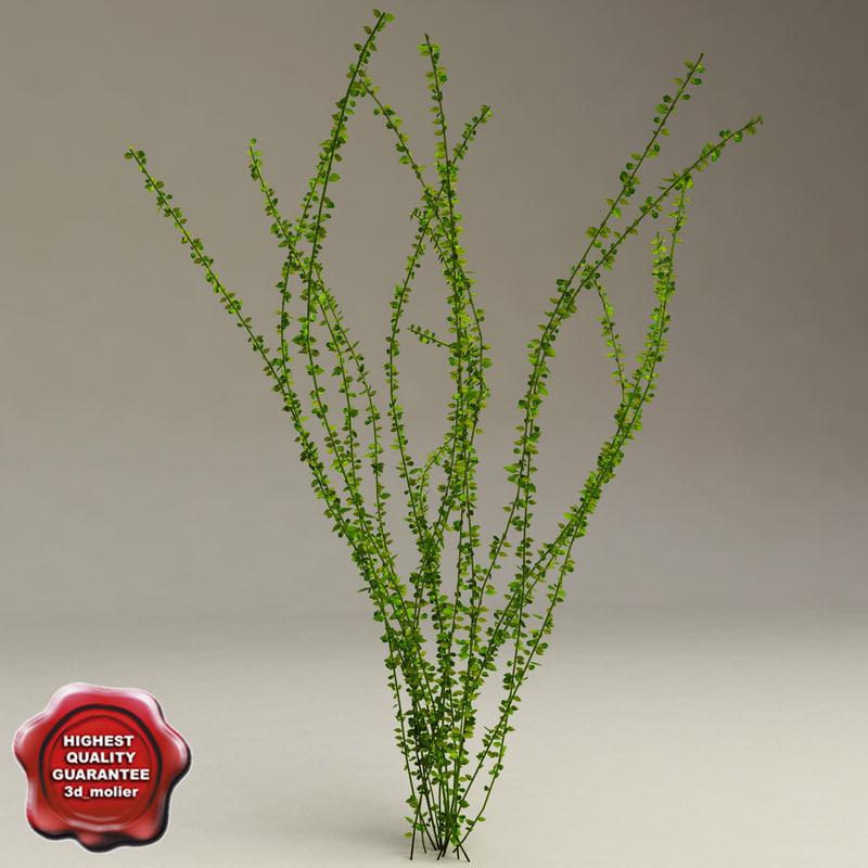 aquarium plant hydrophila bush 3d model