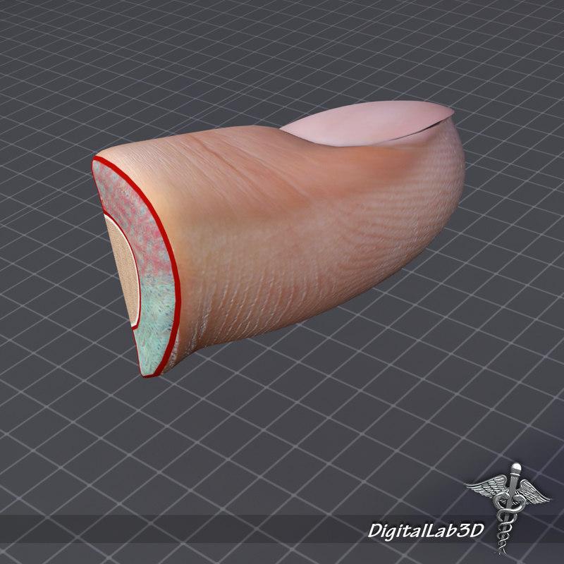 Human Nail Anatomy Fingers 3d Model