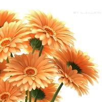 Flowers gerbera 3