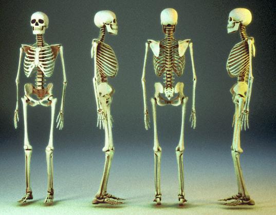 human skeleton 3ds