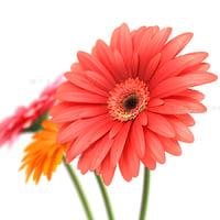 3d flower gerber