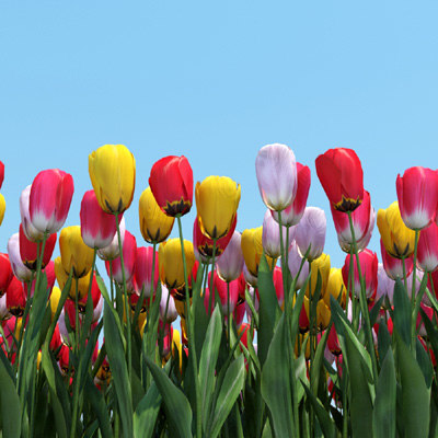 realistic planting tulips flowers 3d model