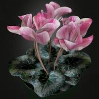 cyclamen plant max