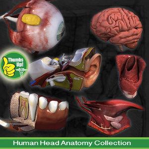 3d human head anatomy eyes