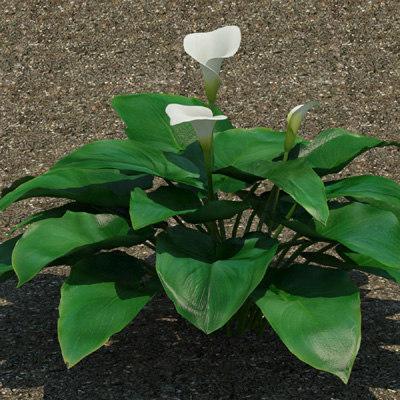 3d calla lily plant