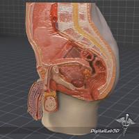 male pelvis 3d model