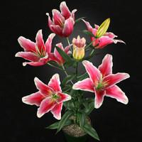 Plant Stargazer Lily