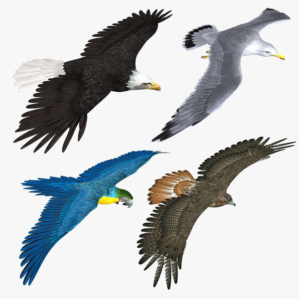 birds american bald 3d obj
