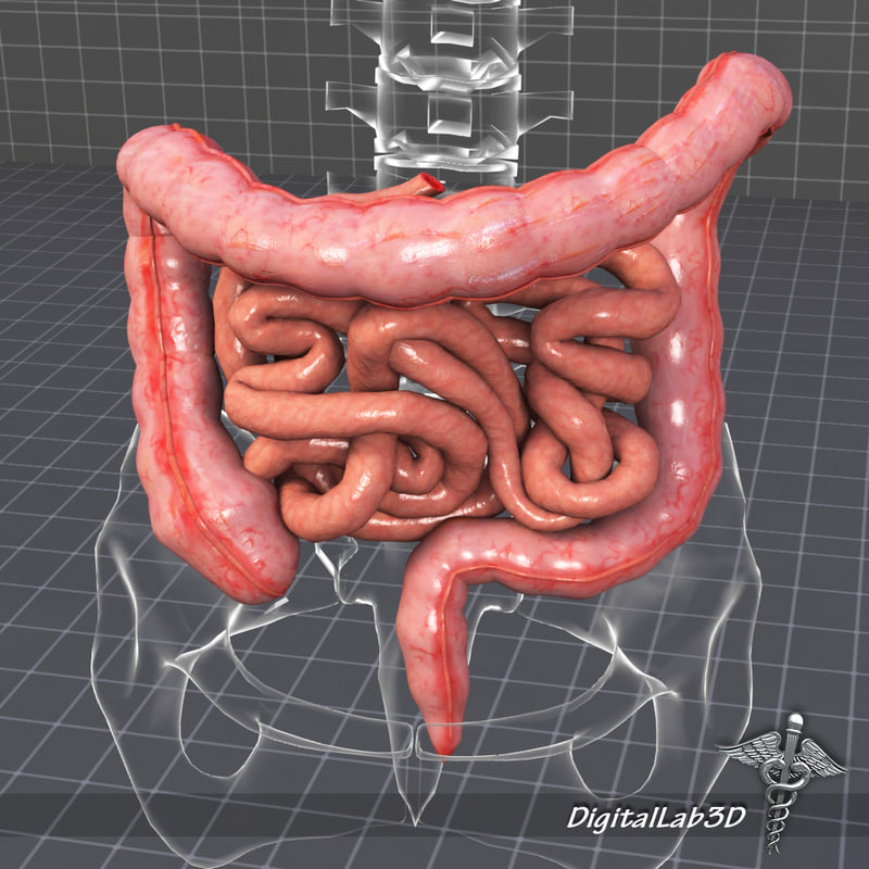 3d human large small intestines