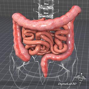 3d human large small intestines
