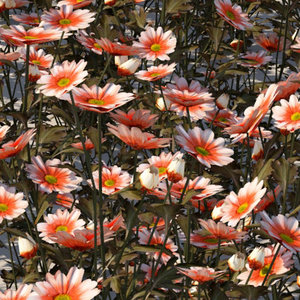 daisies plants 3d model