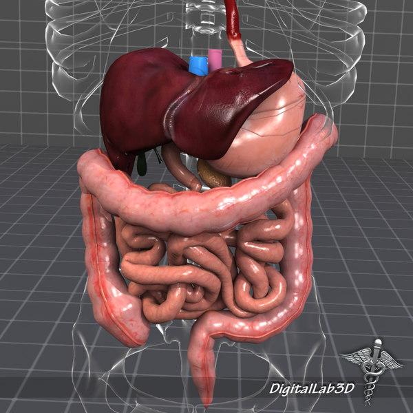 digestive systems organism 3d model