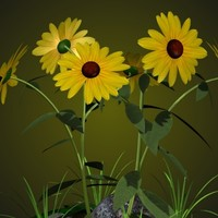 PL Black Eyed Susan