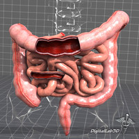 human large small intestines 3d max