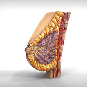 3ds human female breast anatomy