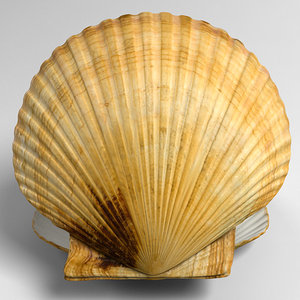 marine scallop pecten shell 3d model