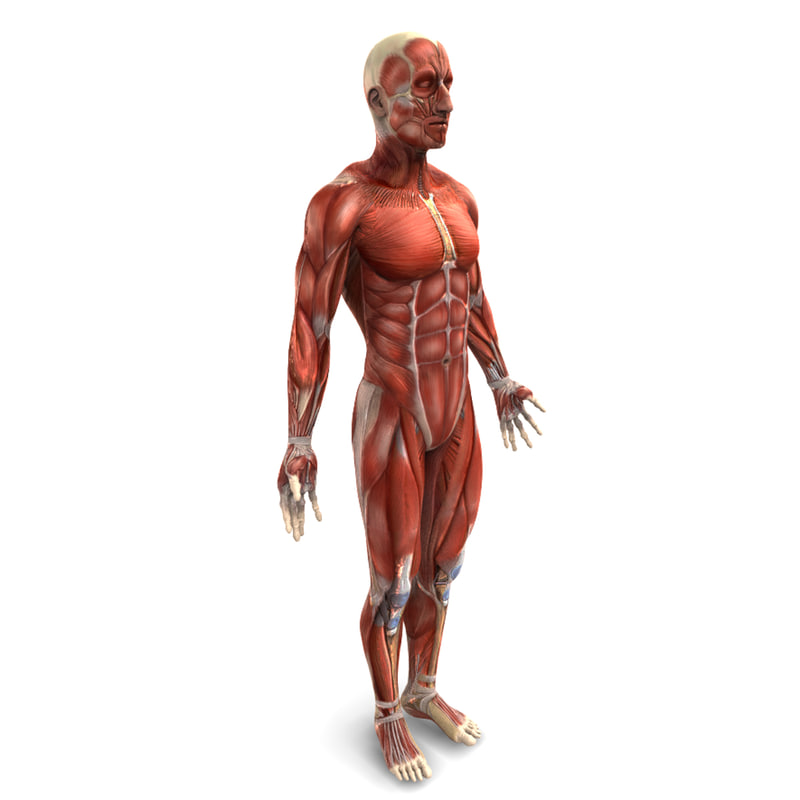 human male muscular 3d model