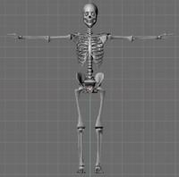 skeleton 3d model