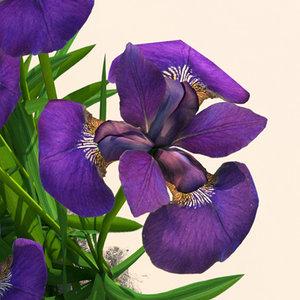 iris plants flowers 3d model