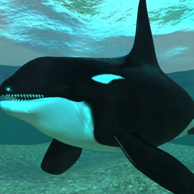 3d realistic orca whale