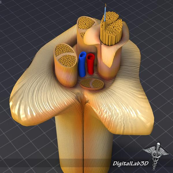 maya human nerve anatomy