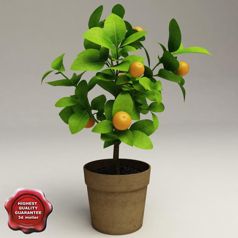 decorative citrus tree calamondin 3d model