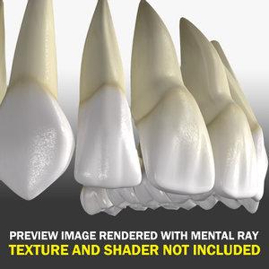 superior human teeth 3d model