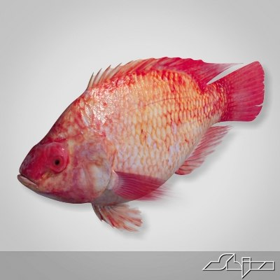 fish red snapper 3d model
