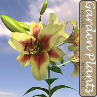 3d garden lily 034 flowering model
